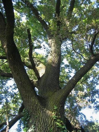 La quercia legna da ardere for Quercia sempreverde